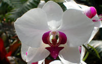 White orchid [2] wallpaper 2560x1600 jpg
