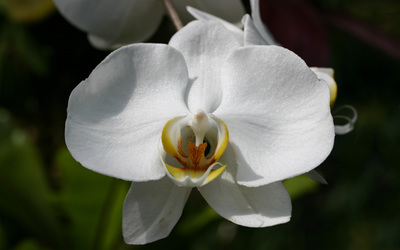 White orchid [3] wallpaper