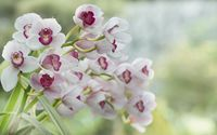 White orchids [3] wallpaper 1920x1200 jpg