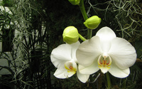 White orchids [2] wallpaper 1920x1200 jpg