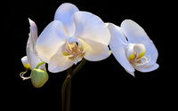 White orchids wallpaper 2560x1600 jpg