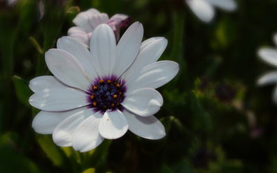 White Osteospermum in the shade wallpaper