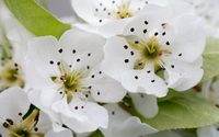 White pear blossoms wallpaper 2560x1600 jpg