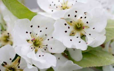 White pear blossoms wallpaper