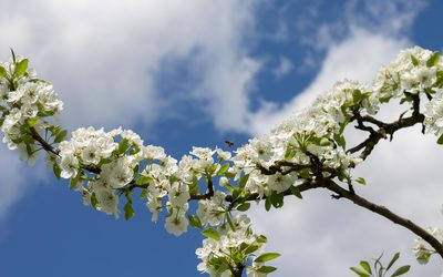 White pear blossoms along the branch wallpaper