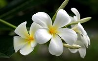 White plumeria wallpaper 2560x1600 jpg