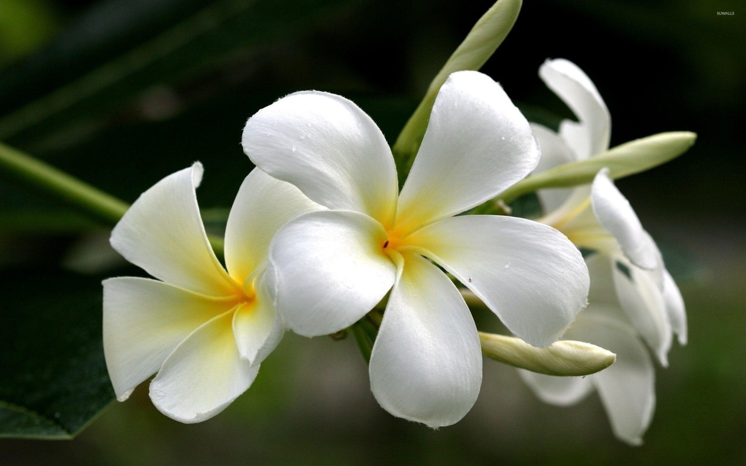 White plumeria wallpaper - Flower wallpapers - #34628