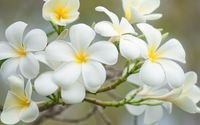 White plumeria [2] wallpaper 1920x1080 jpg