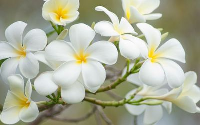 White plumeria [2] wallpaper