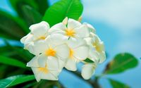 White plumerias [4] wallpaper 1920x1200 jpg