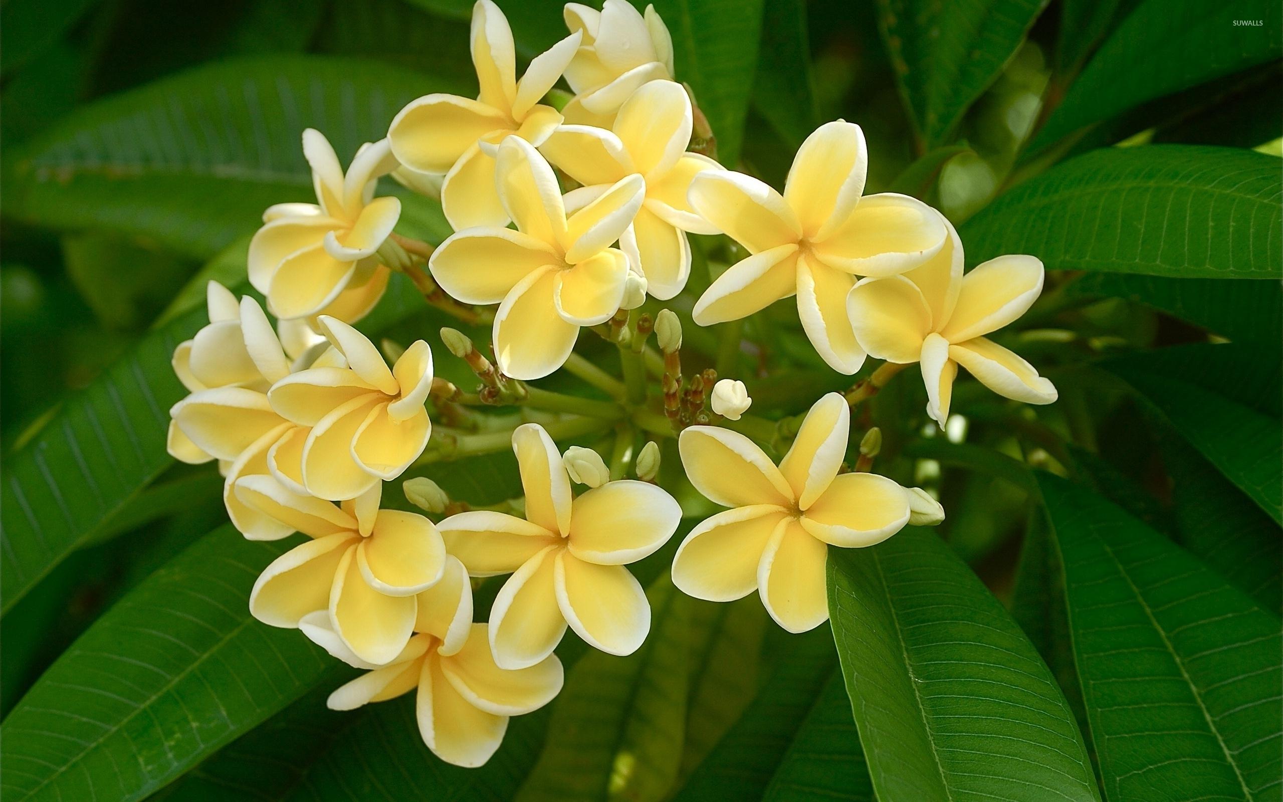 white plumerias 2 wallpaper flower wallpapers 35967
