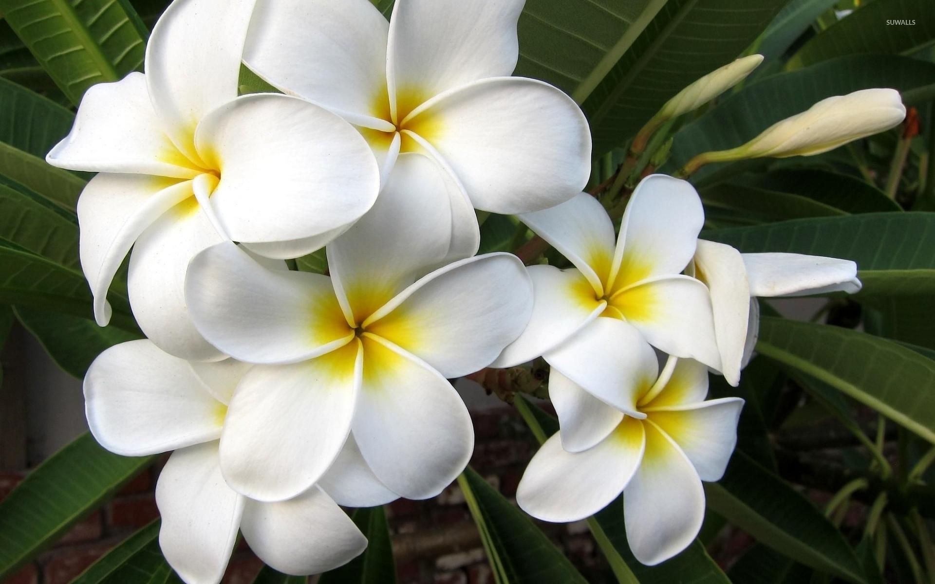 white plumerias 3 wallpaper flower wallpapers 40397