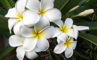 White plumerias [3] wallpaper 1920x1200 jpg