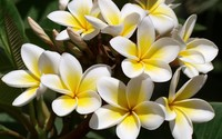 White Plumerias with golden core wallpaper 1920x1200 jpg