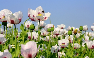 White poppies with red core wallpaper