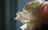 White rose [5] wallpaper 1920x1200 jpg