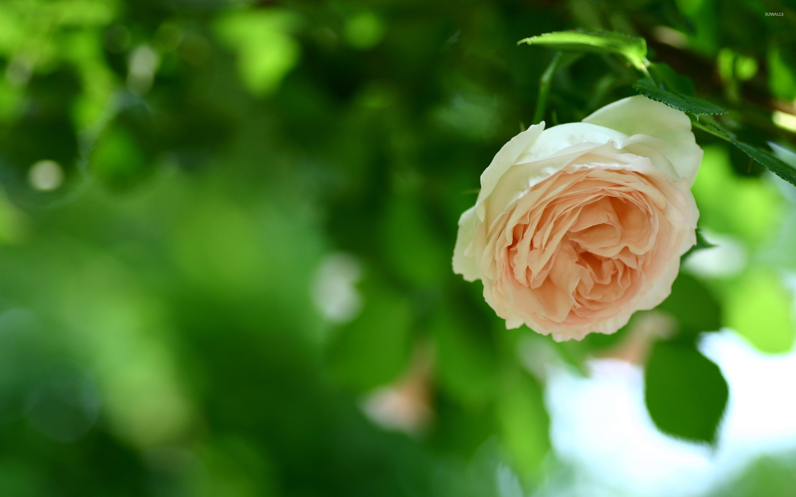 bloomed white roses wallpaper-#45