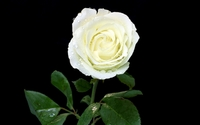White rose [7] wallpaper 2880x1800 jpg