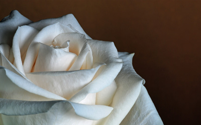 White rose [3] Wallpaper
