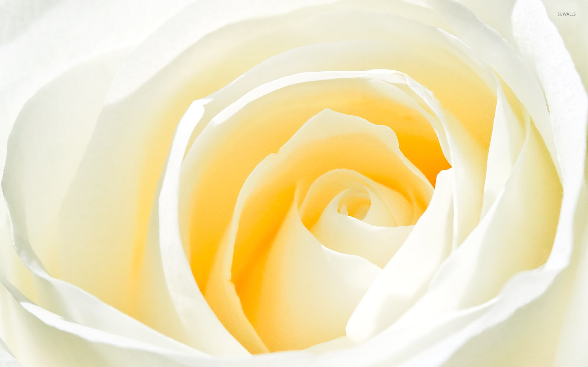 white rose [2] wallpaper - flower wallpapers - #6658
