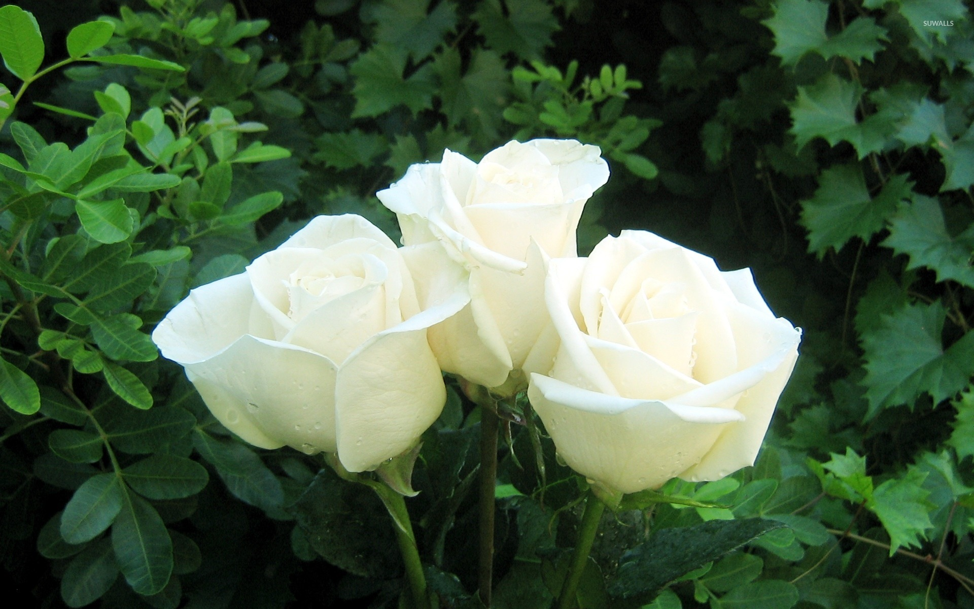 white rose bouquet wallpaper - flower wallpapers - #157