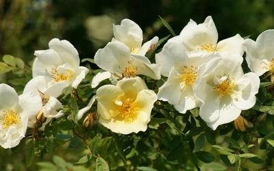 White roses [3] wallpaper