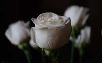 White roses wallpaper 2560x1600 jpg