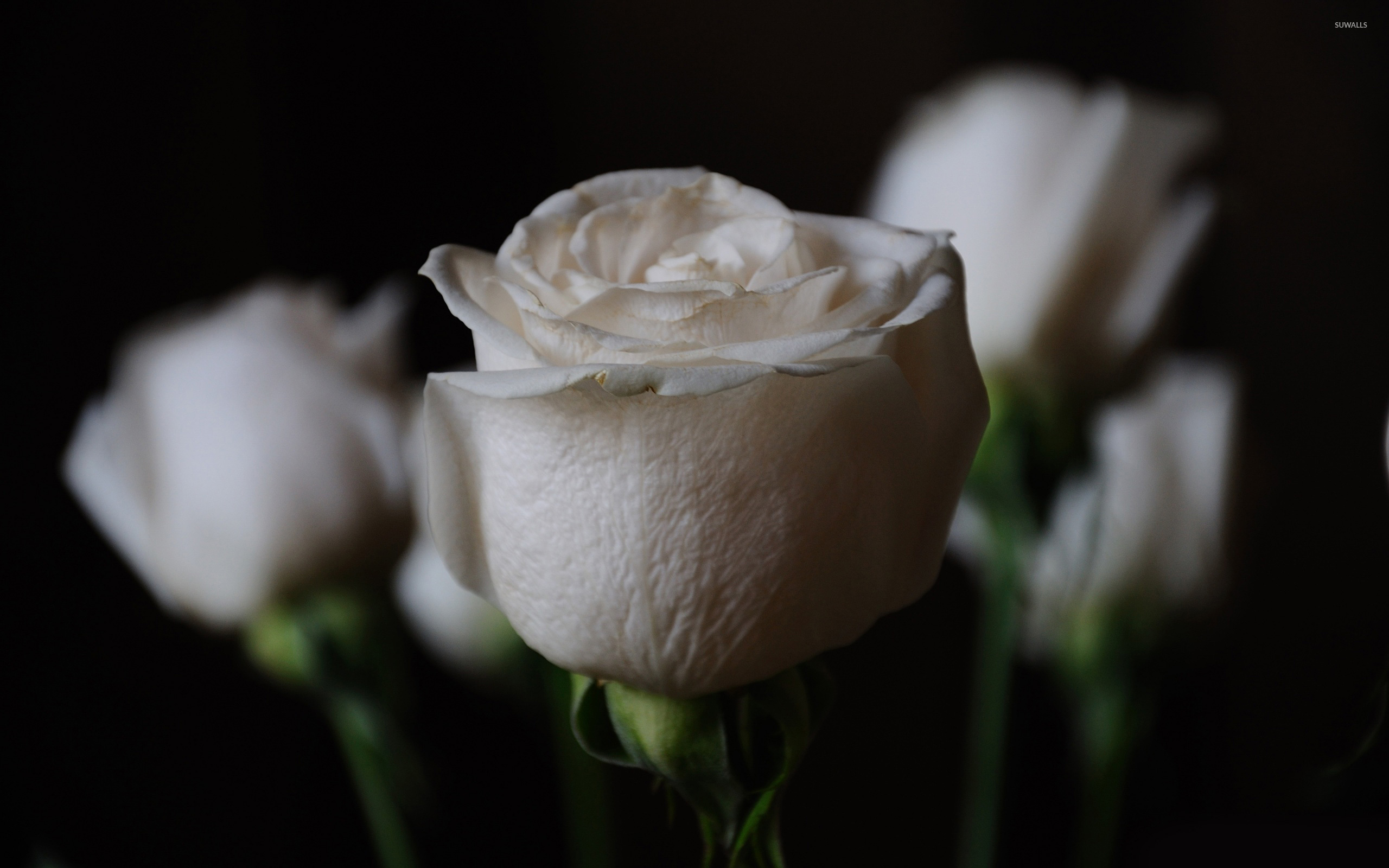White roses wallpaper - Flower wallpapers - #8473