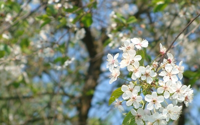 White spring blossoms on a sunny day wallpaper