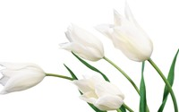White tulips [2] wallpaper 1920x1080 jpg