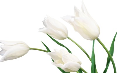 White tulips [2] wallpaper