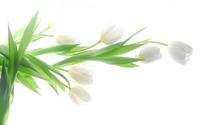 White tulips [4] wallpaper 2880x1800 jpg