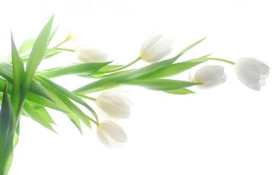 White tulips [4] wallpaper