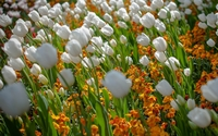 White tulips rising above the orange blossoms wallpaper 2560x1600 jpg