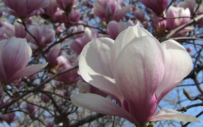 White with pink magnolia close-up wallpaper