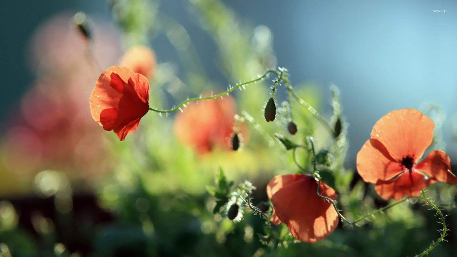wild poppy flowers on - photo #15