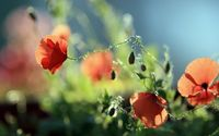 Wild poppies wallpaper 1920x1080 jpg