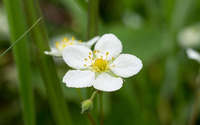 Wild strawberry blossom wallpaper 2880x1800 jpg