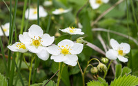 Wild strawberry flowers wallpaper 2880x1800 jpg