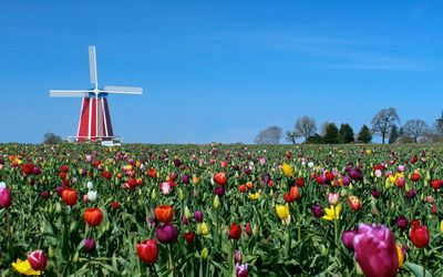 Windmill in tulip field wallpaper