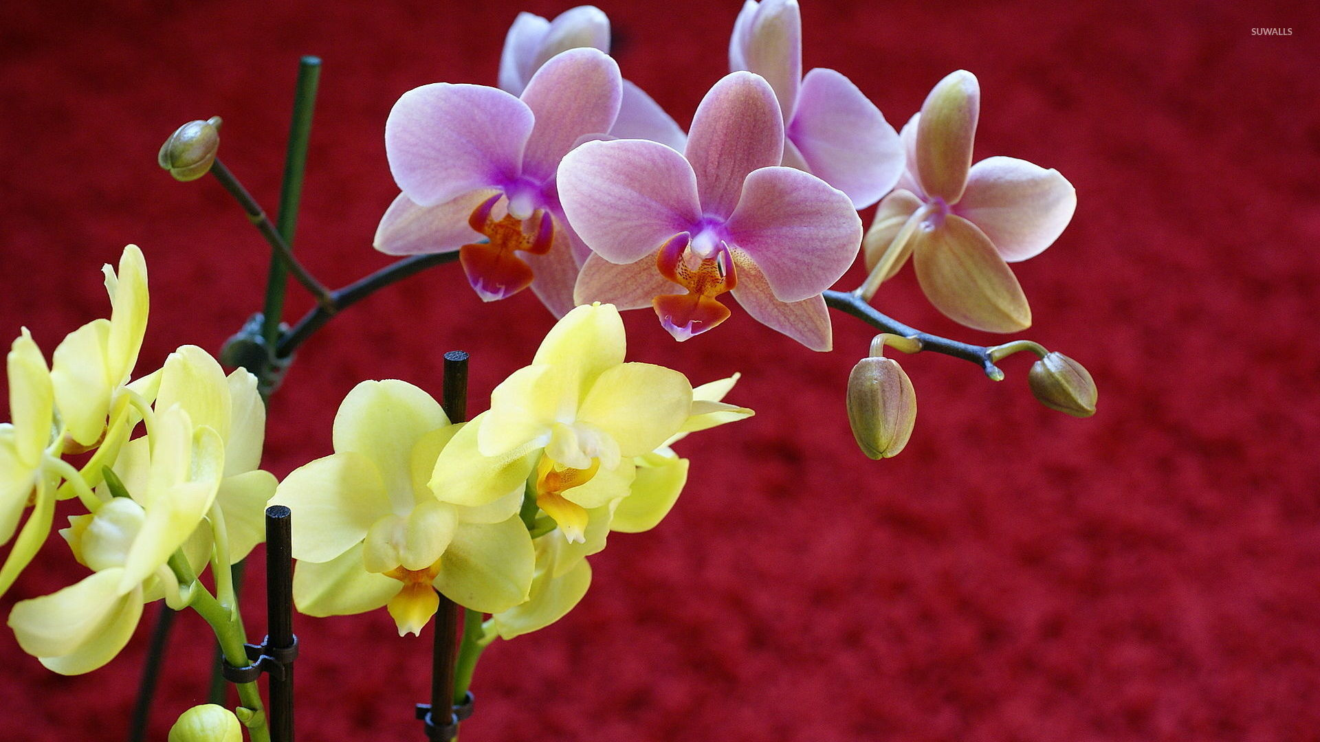 Yellow And Pink Orchid Yellow and Pink Orchid...