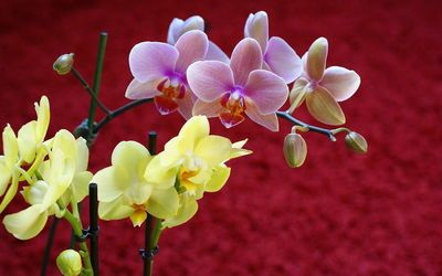 Yellow and Pink Orchids wallpaper