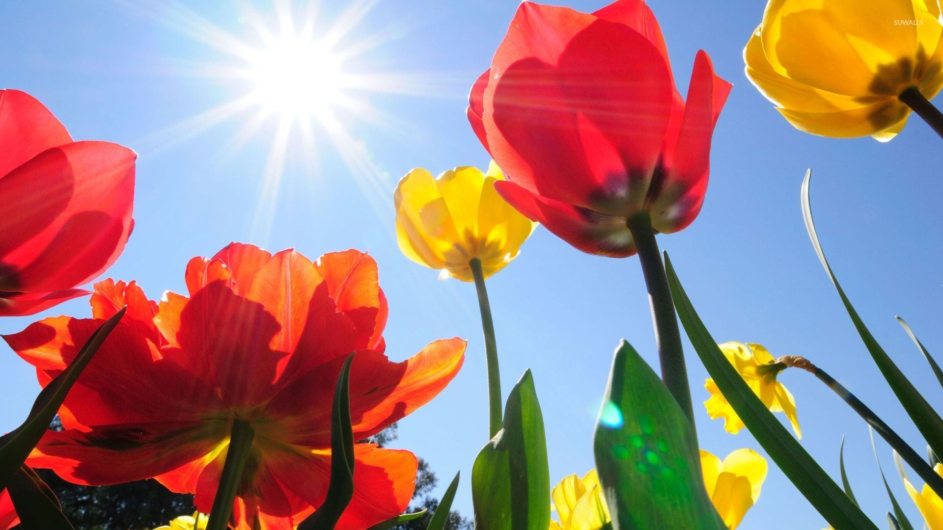 Yellow and red tulips rising to the sun wallpaper - Flower ...