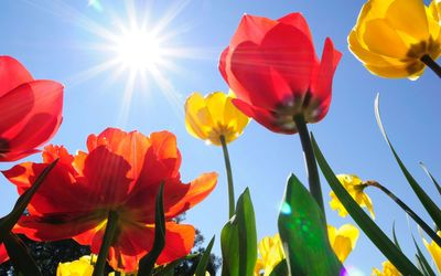 Yellow and red tulips rising to the sun wallpaper