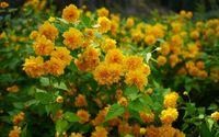 Yellow blossoms [3] wallpaper 1920x1200 jpg