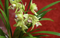 Yellow Cymbidium wallpaper 1920x1200 jpg