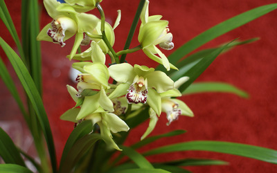 Yellow Cymbidium wallpaper