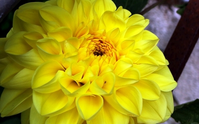 Yellow dahlia wallpaper