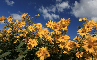 Yellow daisies wallpaper