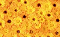 Yellow daisies wallpaper 1920x1200 jpg
